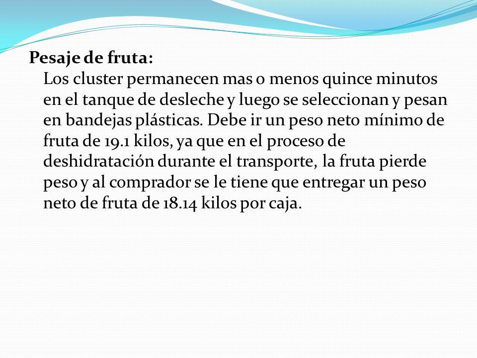 Pesaje de fruta: Los cluster permanecen mas o menos quince minutos en el tanque de desleche y luego se seleccionan y pesan en bandejas plásticas.