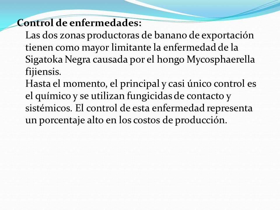 Control de enfermedades: Las dos zonas productoras de banano de exportación tienen como mayor limitante la enfermedad de la Sigatoka Negra causada por el hongo Mycosphaerella fijiensis.