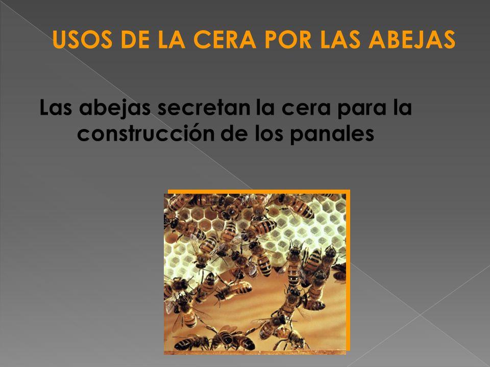 Las abejas secretan la cera para la construcción de los panales USOS DE LA CERA POR LAS ABEJAS