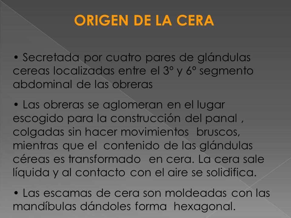 ORIGEN DE LA CERA Secretada por cuatro pares de glándulas cereas localizadas entre el 3º y 6º segmento abdominal de las obreras Las obreras se aglomer