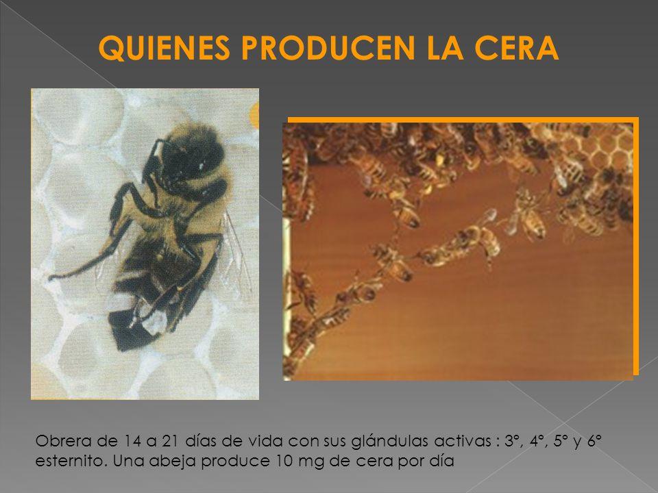 Estado de la flora Condiciones ambientales: temperatura > a 18ºC Número de abejas jóvenes de la colmena Distribución de espacios libres de la colmena Flora abundante (buena alimentación): 1 Kg de abejas secretan 500 gr de cera Para producir 1 Kg de cera se debe consumir 6 a 6,5 Kg de miel Con buen tiempo una colmena puede producir 1 a 1,5Kg de cera/ día Buena abeja reina FACTORES QUE INDUCEN LA PRODUCCIÓN DE CERA