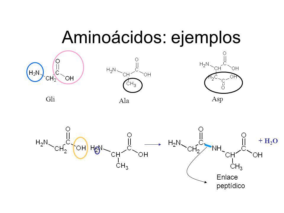 Aminoácidos: ejemplos Gli Ala Asp + H 2 O Enlace peptídico