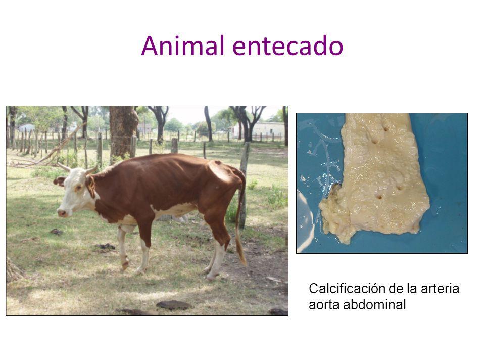 Animal entecado Calcificación de la arteria aorta abdominal
