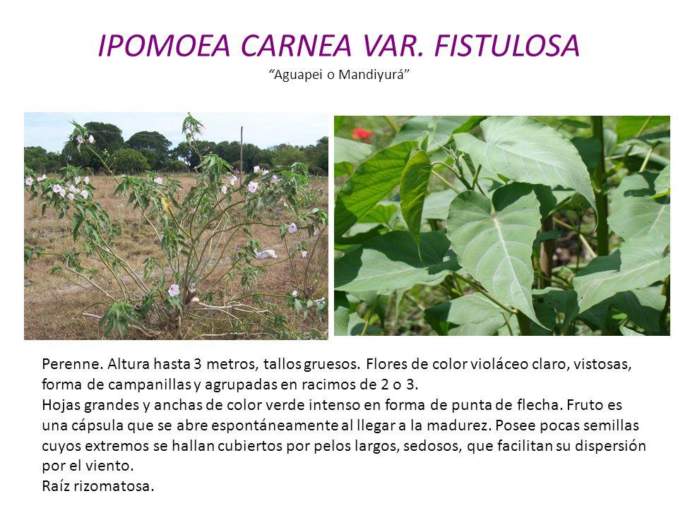 IPOMOEA CARNEA VAR. FISTULOSAAguapei o Mandiyurá Perenne. Altura hasta 3 metros, tallos gruesos. Flores de color violáceo claro, vistosas, forma de ca