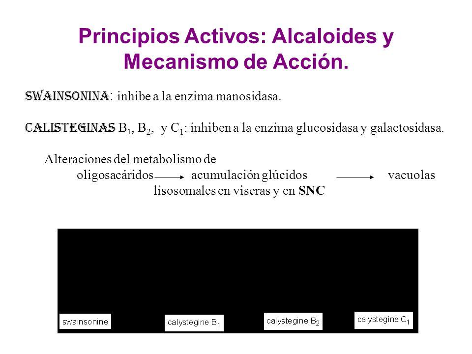 Principios Activos: Alcaloides y Mecanismo de Acción. Swainsonina : inhibe a la enzima manosidasa. Calisteginas B 1, B 2, y C 1 : inhiben a la enzima