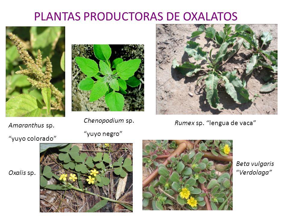 PLANTAS PRODUCTORAS DE OXALATOS Amaranthus sp. yuyo colorado Chenopodium sp. yuyo negro Rumex sp. lengua de vaca Oxalis sp. Beta vulgarisVerdolaga
