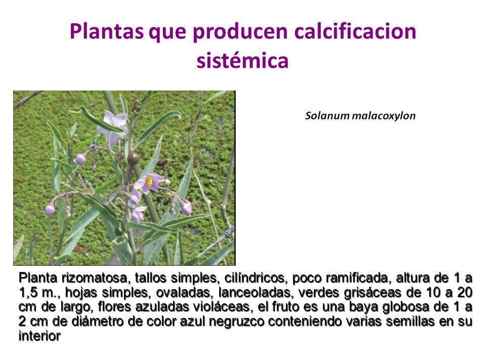 Plantas que producen calcificacion sistémica Solanum malacoxylon Planta rizomatosa, tallos simples, cilíndricos, poco ramificada, altura de 1 a 1,5 m.