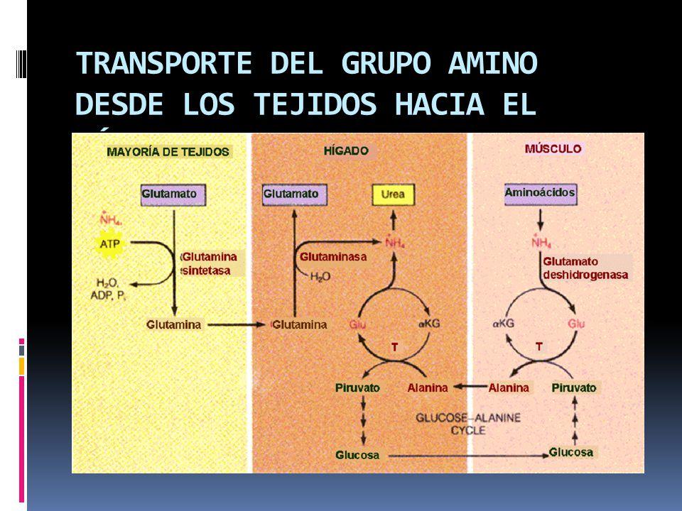 TRANSPORTE DEL GRUPO AMINO DESDE LOS TEJIDOS HACIA EL HÍGADO