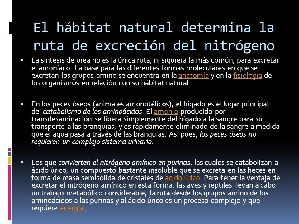 El hábitat natural determina la ruta de excreción del nitrógeno La síntesis de urea no es la única ruta, ni siquiera la más común, para excretar el am