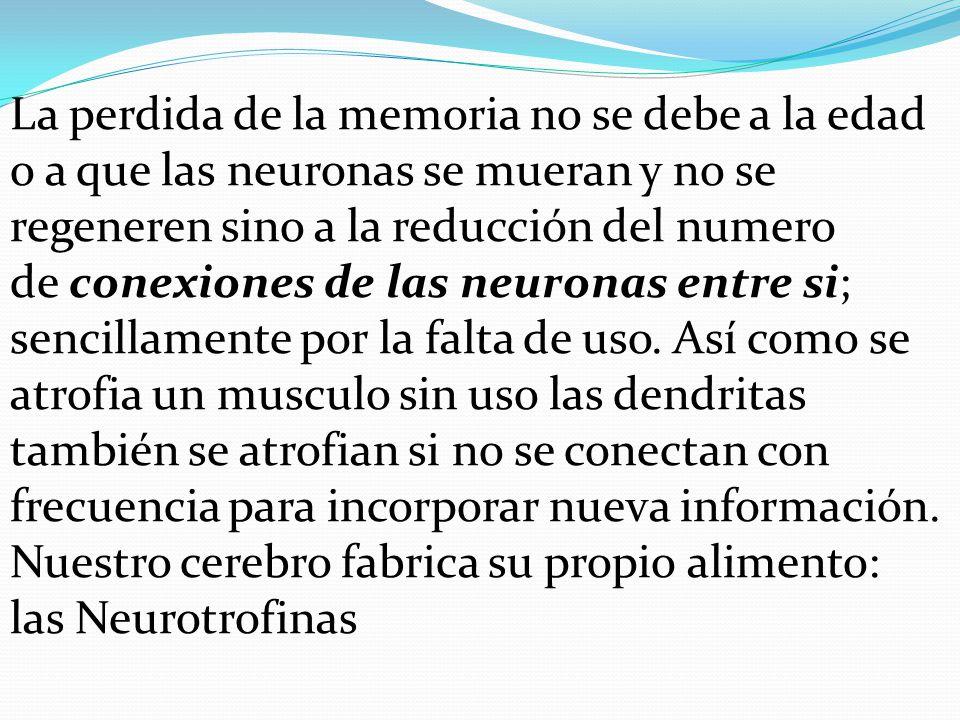 La perdida de la memoria no se debe a la edad o a que las neuronas se mueran y no se regeneren sino a la reducción del numero de conexiones de las neu