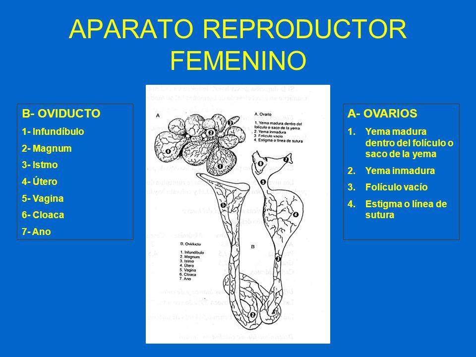 APARATO REPRODUCTOR FEMENINO B- OVIDUCTO 1- Infundíbulo 2- Magnum 3- Istmo 4- Útero 5- Vagina 6- Cloaca 7- Ano A- OVARIOS 1.Yema madura dentro del fol