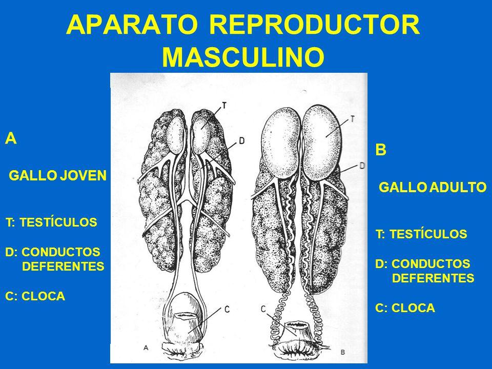 APARATO REPRODUCTOR MASCULINO A GALLO JOVEN T: TESTÍCULOS D: CONDUCTOS DEFERENTES C: CLOCA B GALLO ADULTO T: TESTÍCULOS D: CONDUCTOS DEFERENTES C: CLO