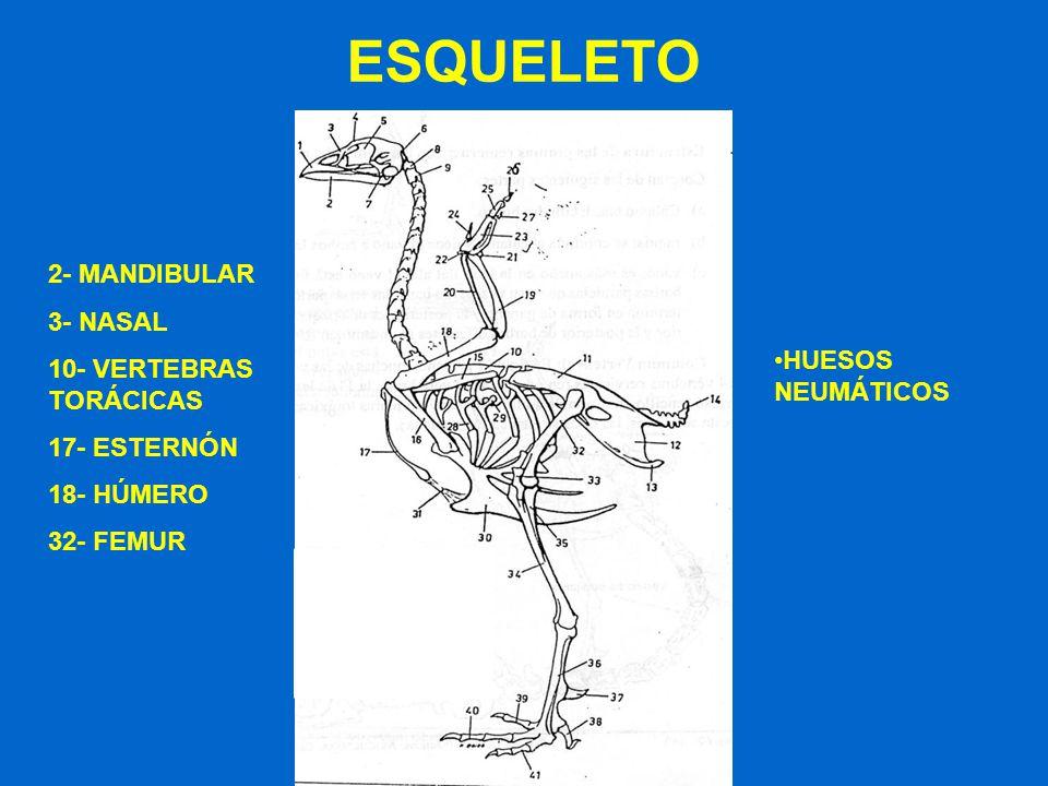 ESQUELETO 2- MANDIBULAR 3- NASAL 10- VERTEBRAS TORÁCICAS 17- ESTERNÓN 18- HÚMERO 32- FEMUR HUESOS NEUMÁTICOS
