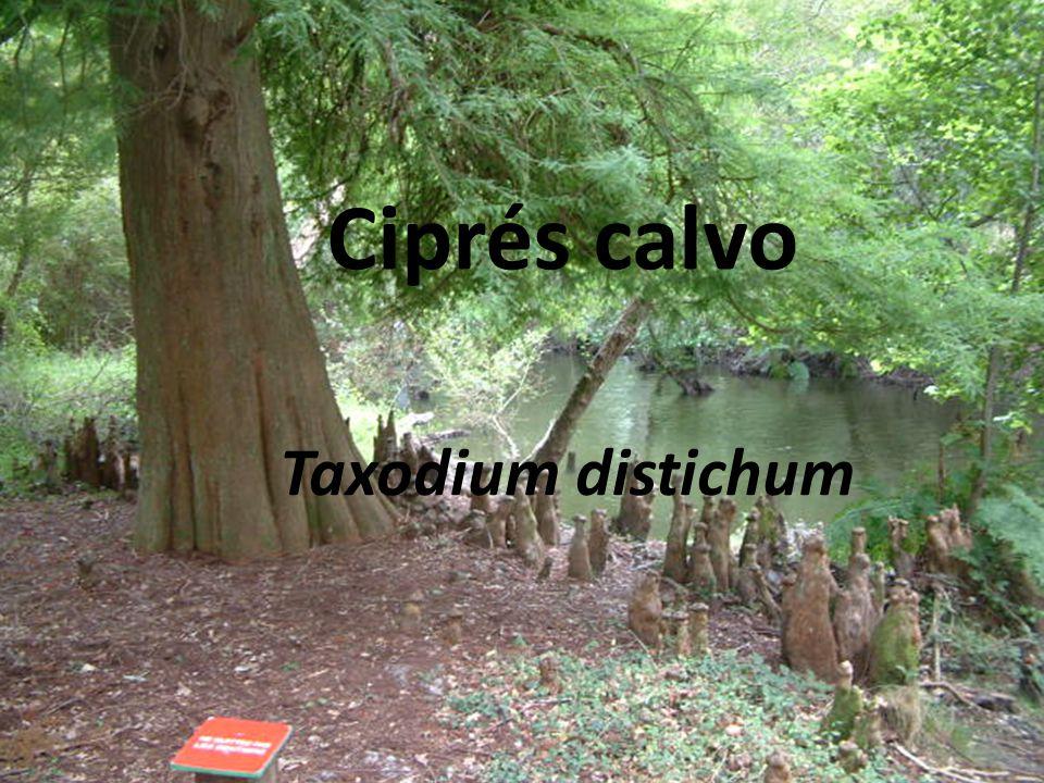 Ciprés calvo Taxodium distichum
