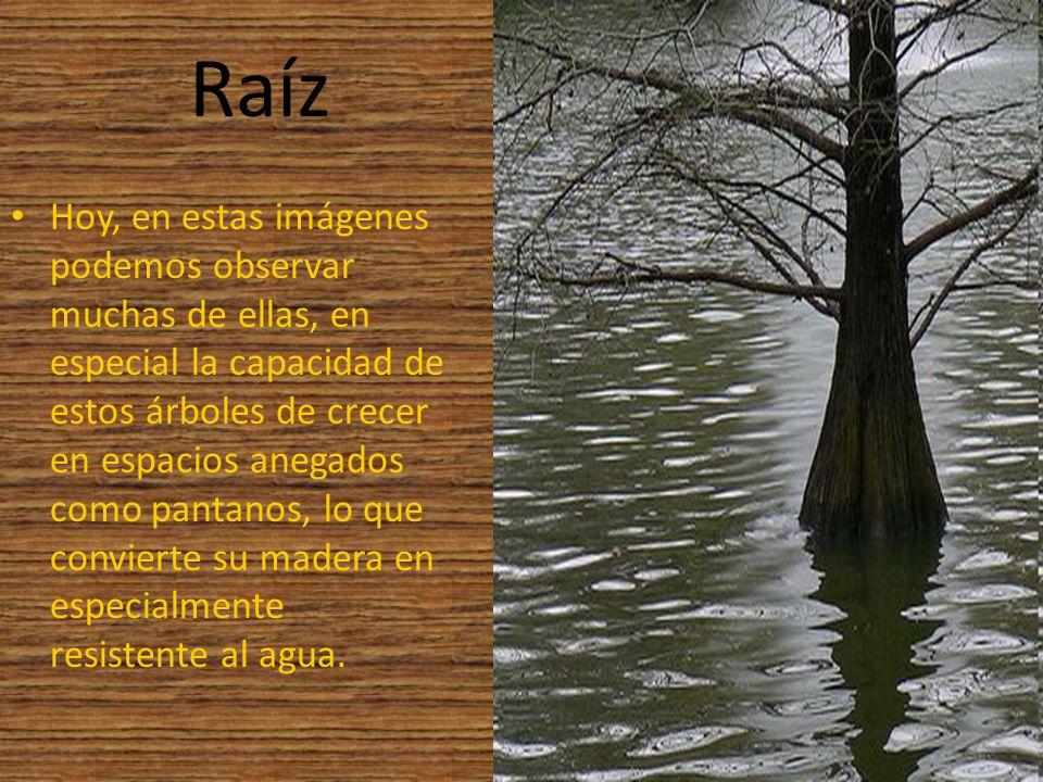 Raíz Hoy, en estas imágenes podemos observar muchas de ellas, en especial la capacidad de estos árboles de crecer en espacios anegados como pantanos,