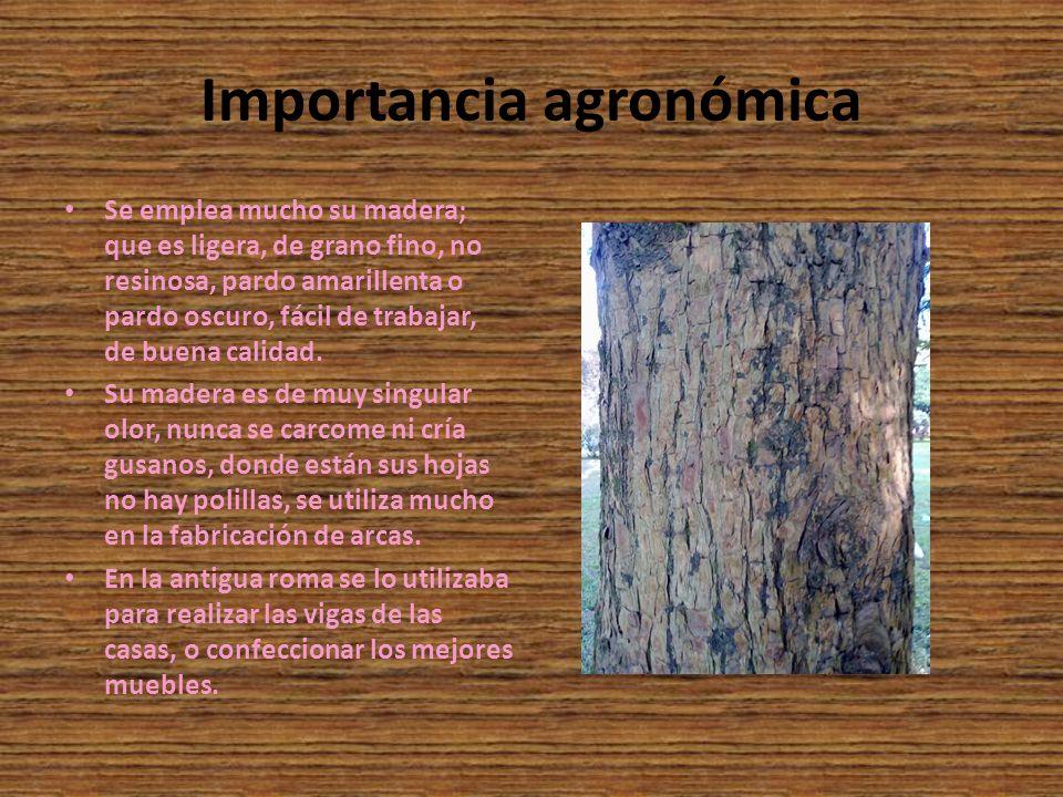 Importancia agronómica Se emplea mucho su madera; que es ligera, de grano fino, no resinosa, pardo amarillenta o pardo oscuro, fácil de trabajar, de b