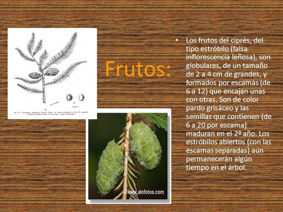 Frutos: Los frutos del ciprés, del tipo estróbilo (falsa inflorescencia leñosa), son globulares, de un tamaño de 2 a 4 cm de grandes, y formados por e