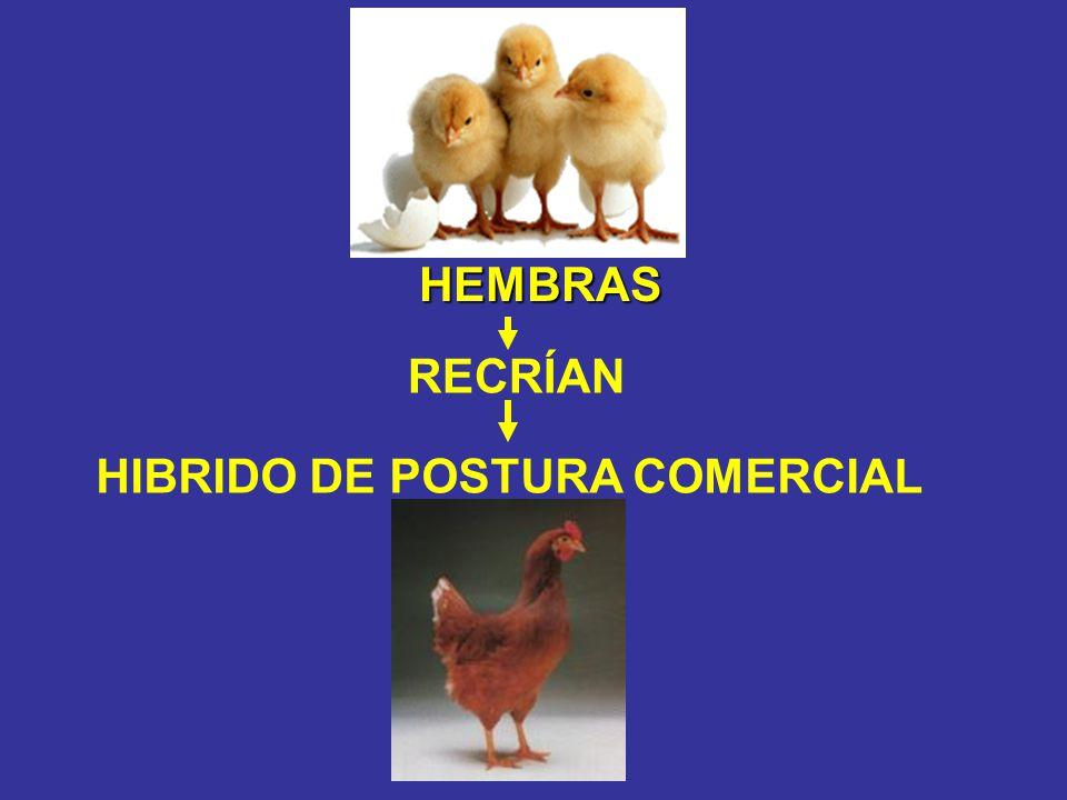 HEMBRAS HEMBRAS RECRÍAN HIBRIDO DE POSTURA COMERCIAL