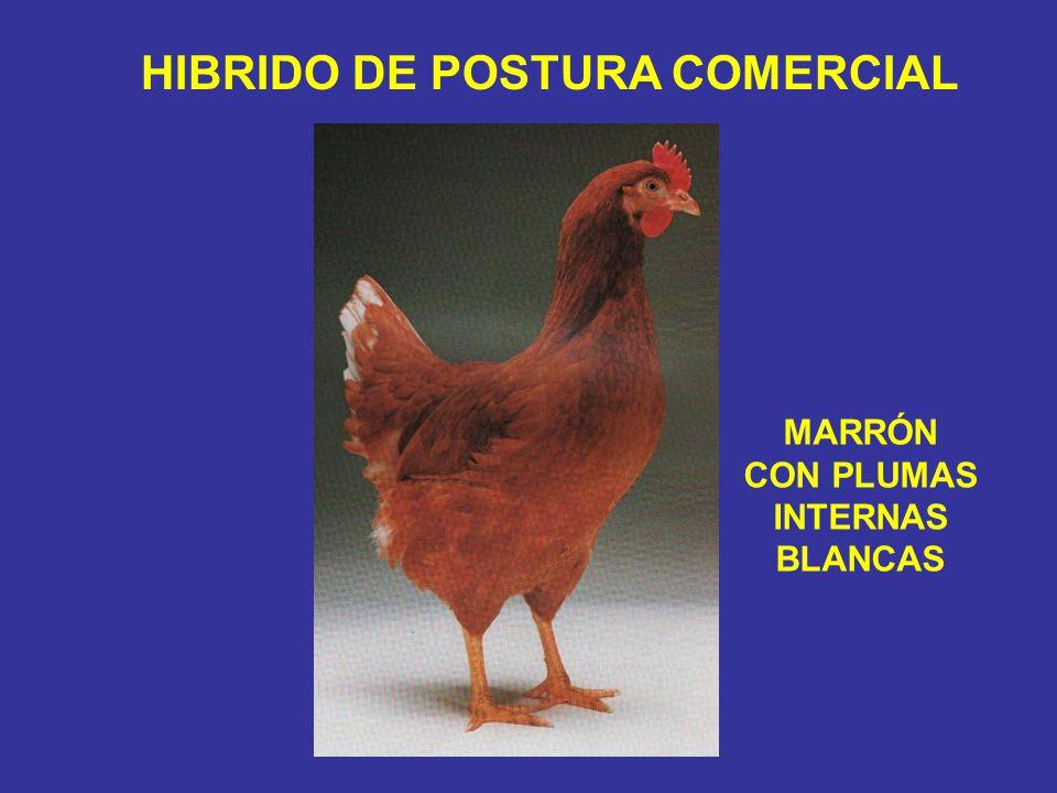 MARRÓN CON PLUMAS INTERNAS BLANCAS