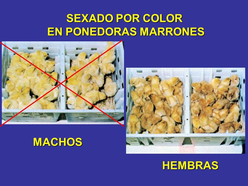 SEXADO POR COLOR EN PONEDORAS MARRONES MACHOS HEMBRAS