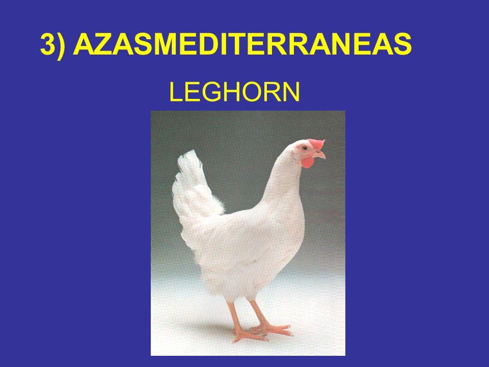 3) AZASMEDITERRANEAS LEGHORN