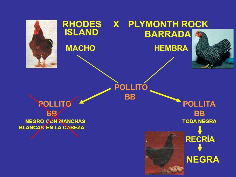 RHODES X PLYMONTH ROCK NEGRA BARRADA ISLAND MACHO HEMBRA POLLITA BB TODA NEGRA POLLITO BB NEGRO CON MANCHAS BLANCAS EN LA CABEZA POLLITO BB RECRÍA