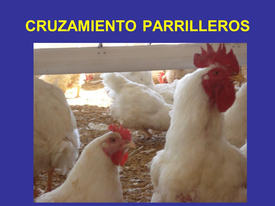 CRUZAMIENTO PARRILLEROS