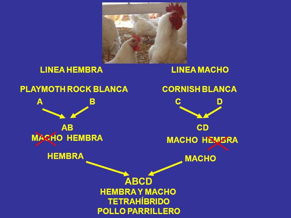 LINEA HEMBRA PLAYMOTH ROCK BLANCA LINEA MACHO CORNISH BLANCA A B C D ABCD MACHO HEMBRA HEMBRA MACHO ABCD HEMBRA Y MACHO TETRAHÍBRIDO POLLO PARRILLERO