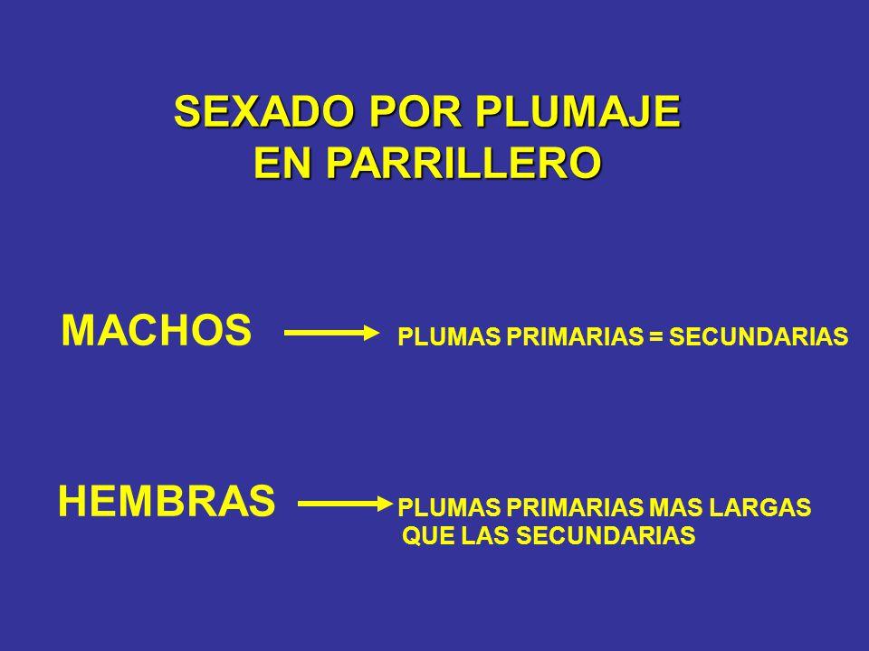 MACHOS PLUMAS PRIMARIAS = SECUNDARIAS HEMBRAS PLUMAS PRIMARIAS MAS LARGAS SEXADO POR PLUMAJE EN PARRILLERO QUE LAS SECUNDARIAS