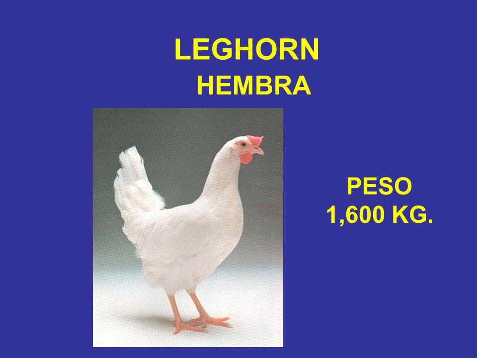 MACHO LEGHORN PESO 2,100 KG.