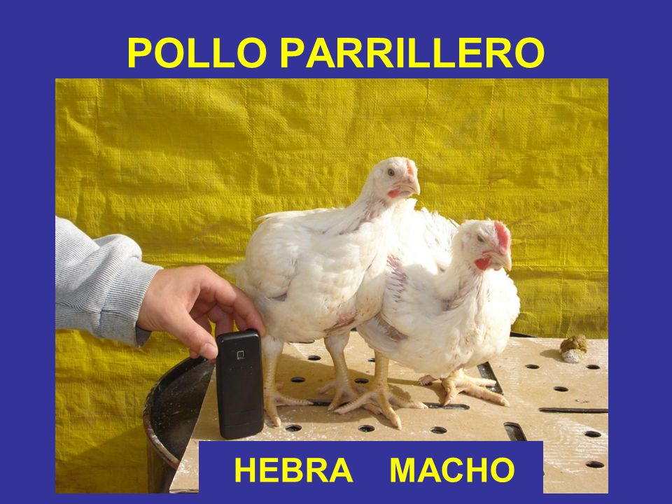 POLLO PARRILLERO HEBRA MACHO