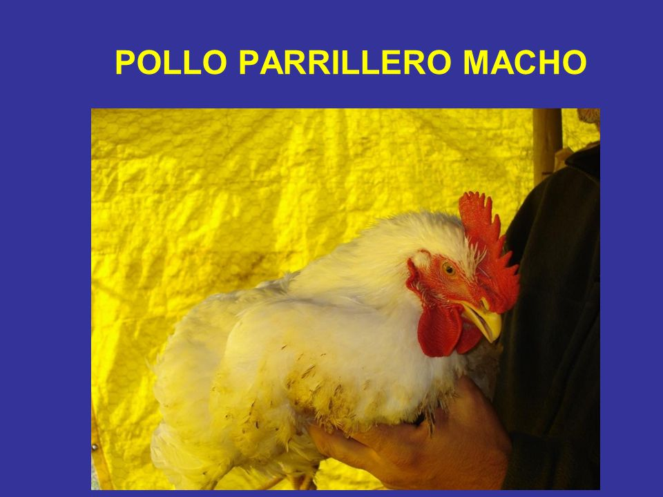 POLLO PARRILLERO MACHO