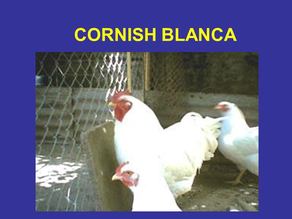 CORNISH BLANCA