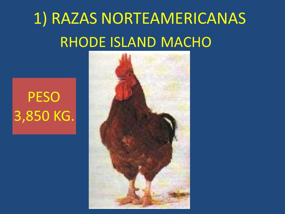 RHODE ISLAND MACHO 1) RAZAS NORTEAMERICANAS PESO 3,850 KG.