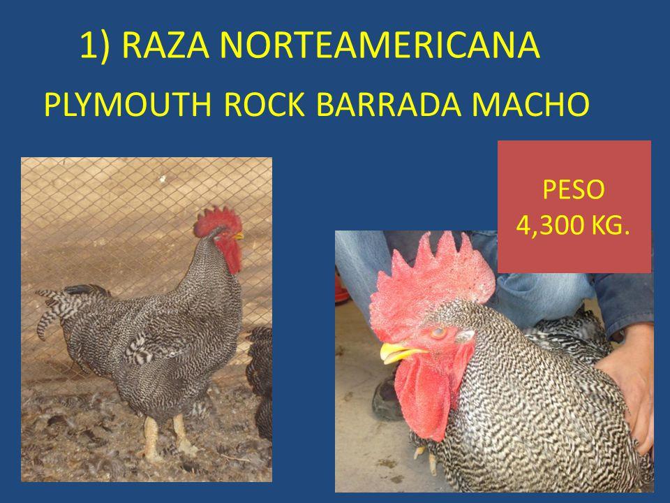 PLYMOUTH ROCK BARRADA MACHO 1) RAZA NORTEAMERICANA PESO 4,300 KG.