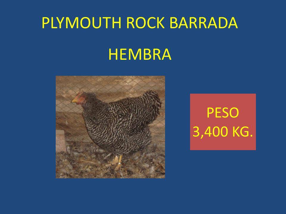 PLYMOUTH ROCK BARRADA HEMBRA PESO 3,400 KG.