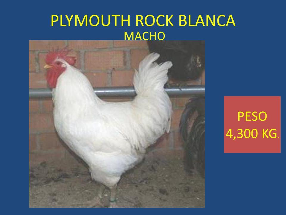 PLYMOUTH ROCK BLANCA MACHO PESO 4,300 KG.