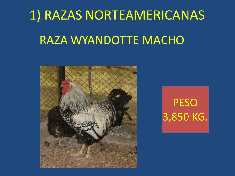 RAZA WYANDOTTE MACHO 1) RAZAS NORTEAMERICANAS PESO 3,850 KG.