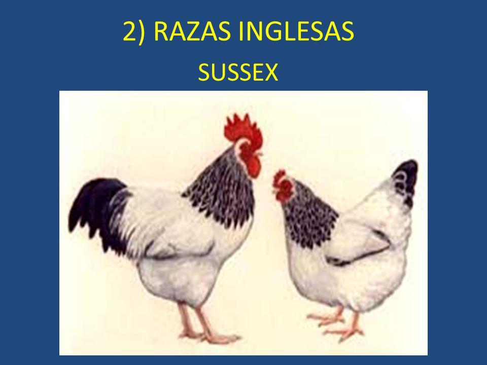 SUSSEX 2) RAZAS INGLESAS