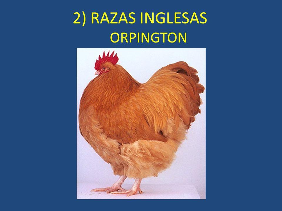 ORPINGTON 2) RAZAS INGLESAS