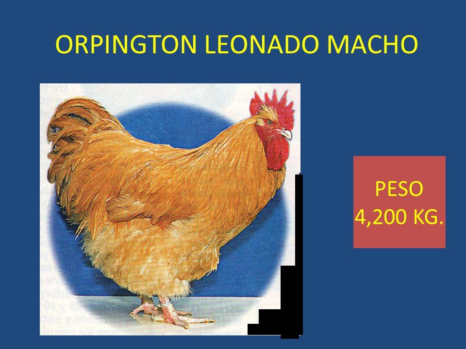ORPINGTON LEONADO MACHO PESO 4,200 KG.