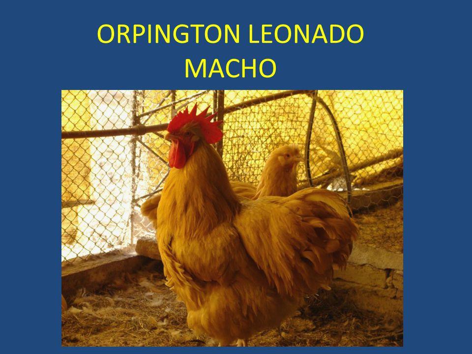 ORPINGTON LEONADO MACHO