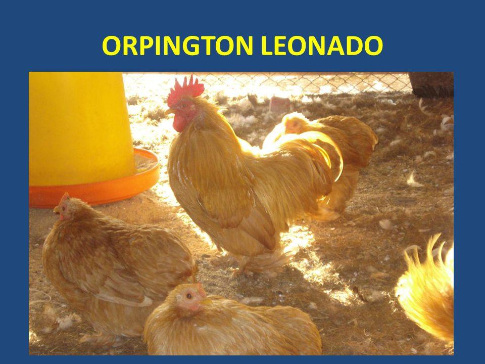 ORPINGTON LEONADO
