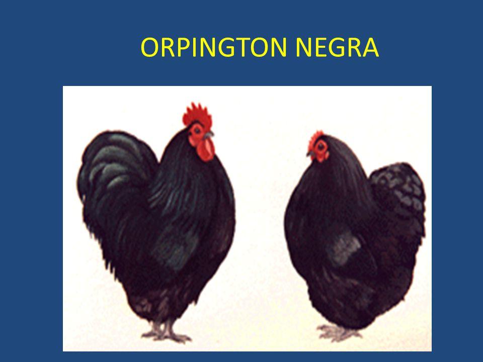ORPINGTON NEGRA