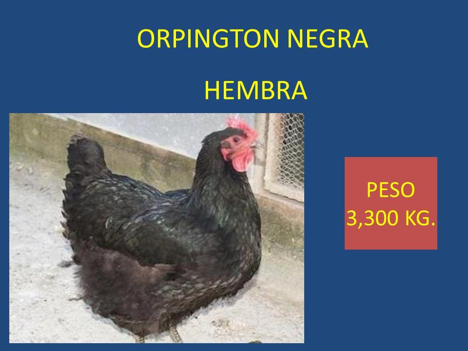 ORPINGTON NEGRA HEMBRA PESO 3,300 KG.