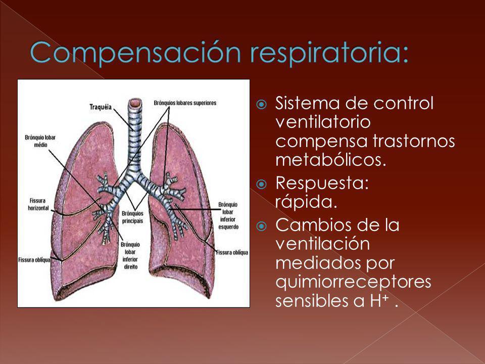 Sistema de control ventilatorio compensa trastornos metabólicos. Respuesta: rápida. Cambios de la ventilación mediados por quimiorreceptores sensibles