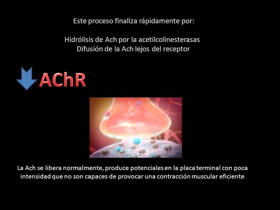 Este proceso finaliza rápidamente por: Hidrólisis de Ach por la acetilcolinesterasas Difusión de la Ach lejos del receptor La Ach se libera normalmente, produce potenciales en la placa terminal con poca intensidad que no son capaces de provocar una contracción muscular eficiente