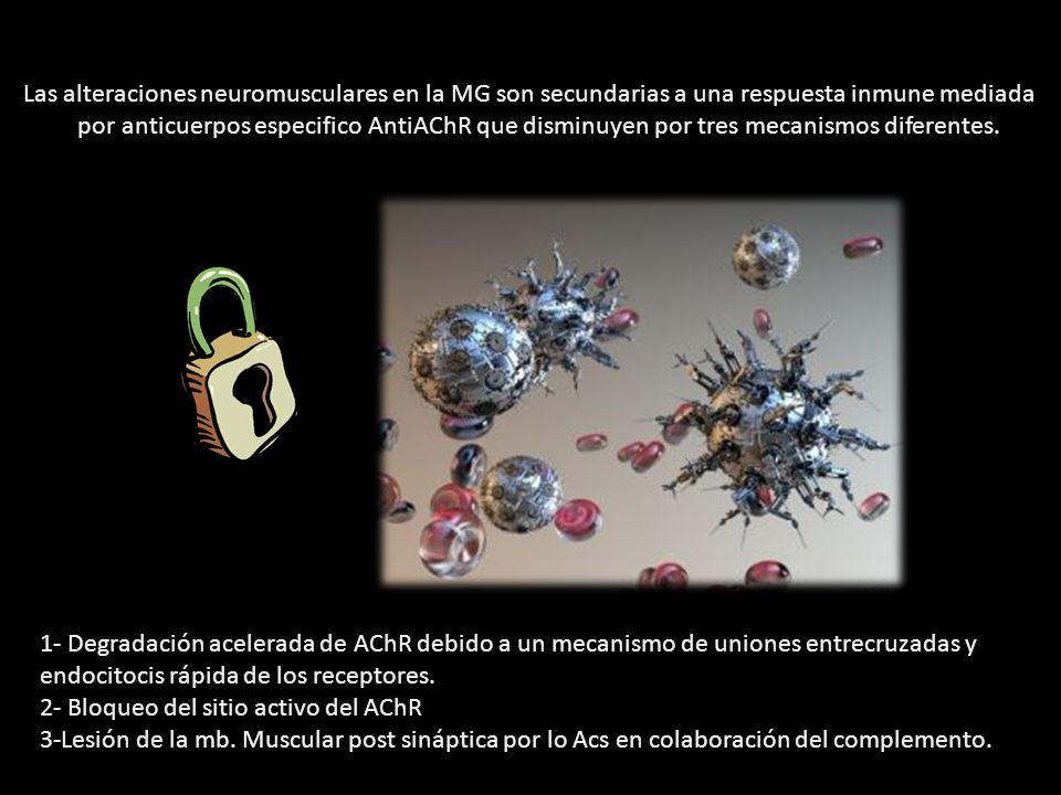 Las alteraciones neuromusculares en la MG son secundarias a una respuesta inmune mediada por anticuerpos especifico AntiAChR que disminuyen por tres mecanismos diferentes.