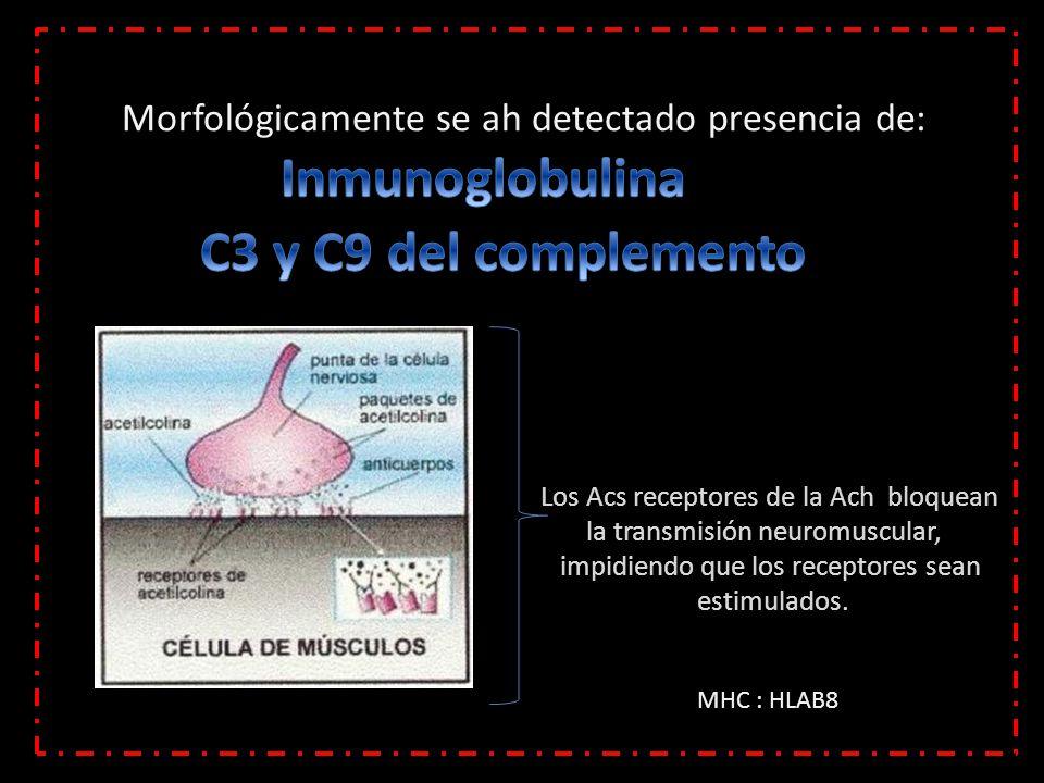 Morfológicamente se ah detectado presencia de: Los Acs receptores de la Ach bloquean la transmisión neuromuscular, impidiendo que los receptores sean estimulados.