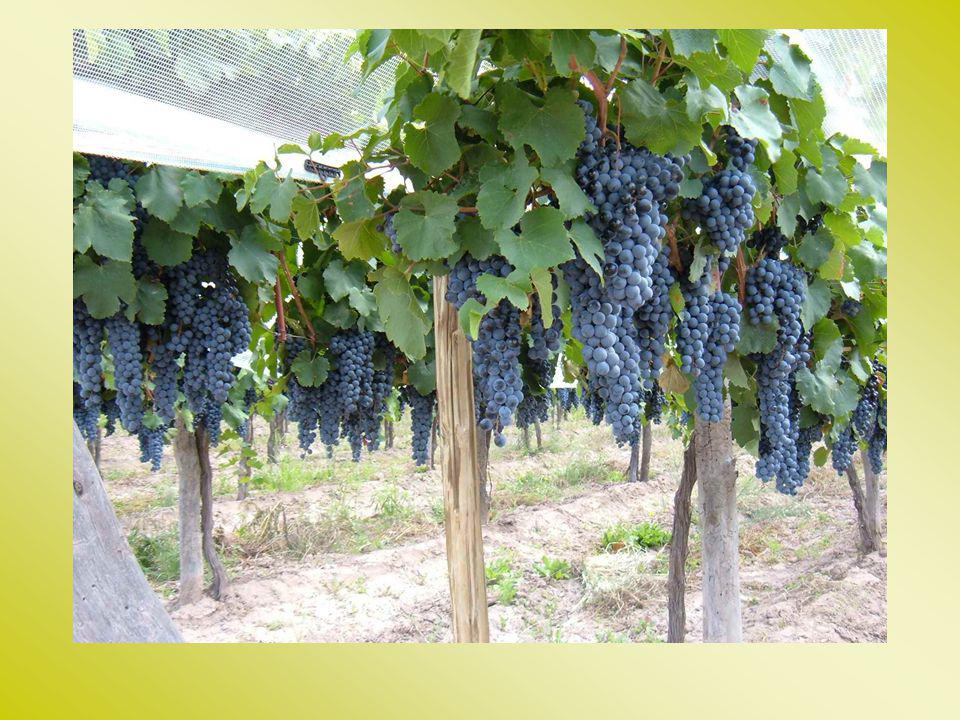 Methods Finca Los Otoyanes Trellis system: Cortina Suspendida Rame (C.S.R.) (3 x 2 m) Variety: Bonarda (own-rooted, 6 years old) Characterization of microclimate, vegetative growth, yield, canopy quality, wine quality